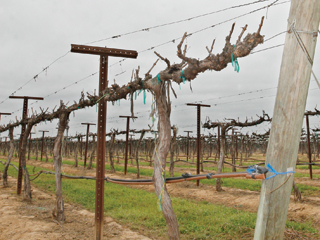 One acre of vineyard can produce 8,000 bottles of wine or $80,000 in revenue for Fresno State. Six acres were paved for Lot Q.