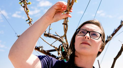 Alumna now oversees campus vineyard article thumbnail mt-3